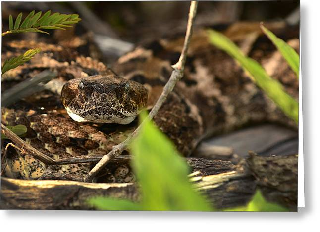 Canebrake Greeting Cards - Canebrake Rattlesnake Greeting Card by Eric Abernethy