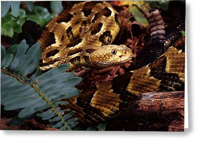 Canebrake Greeting Cards - Canebrake Rattlesnake Greeting Card by John Bell