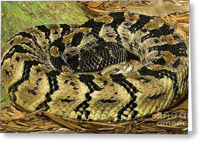Canebrake Greeting Cards - Canebrake Rattlesnake Greeting Card by Millard H. Sharp