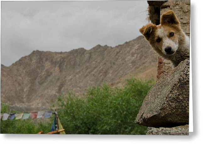 Dog Photographs Greeting Cards - Canine Curiosity Greeting Card by Aaron S Bedell