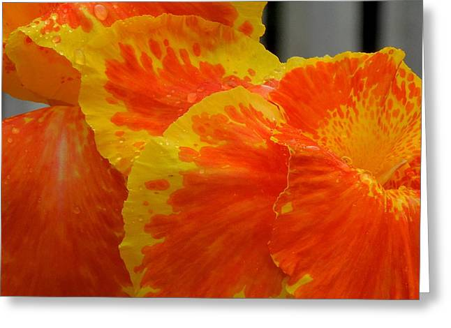 Canna Greeting Cards - Canna Can-Can Greeting Card by Renee Trenholm