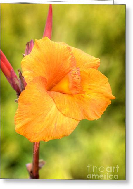 Canna Greeting Cards - Canna Flower Greeting Card by David Birchall