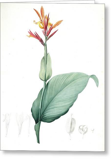 Canna Indica, Baslisier Der Indes Indian Shot, Achira Greeting Card by Artokoloro