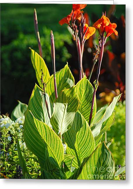 Canna Greeting Cards - Canna Lily Greeting Card by Optical Playground By MP Ray