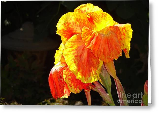 Canna Lily Greeting Card by Rod Ismay