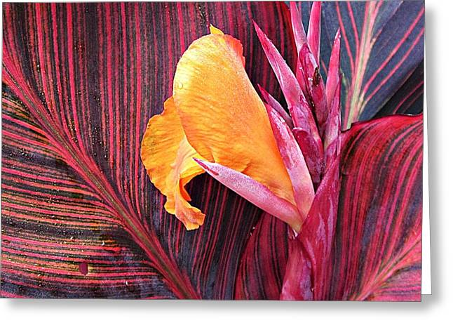 Canna Greeting Cards - Canna Lily Stripes Greeting Card by MTBobbins Photography