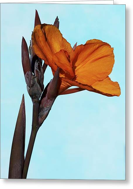 Canna Greeting Cards - Canna x generalis Wyoming Greeting Card by Science Photo Library