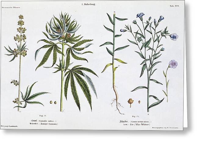 Green Leafs Drawings Greeting Cards - Cannabis and Flax Greeting Card by Matthias Trentsensky