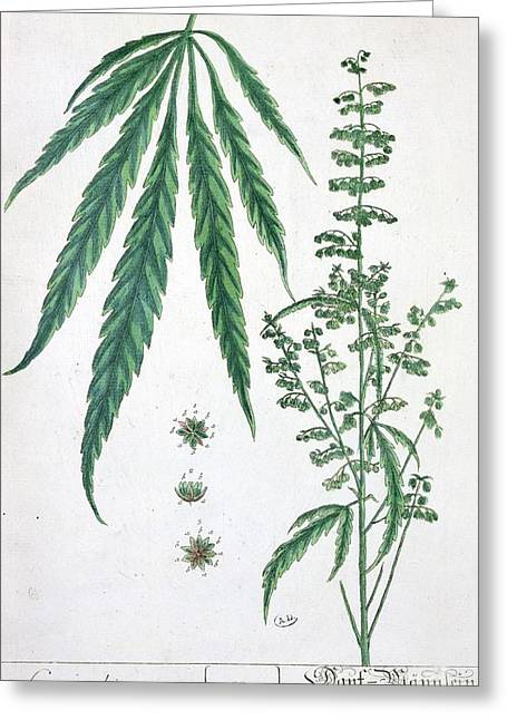 Cannabis Greeting Card by Elizabeth Blackwell