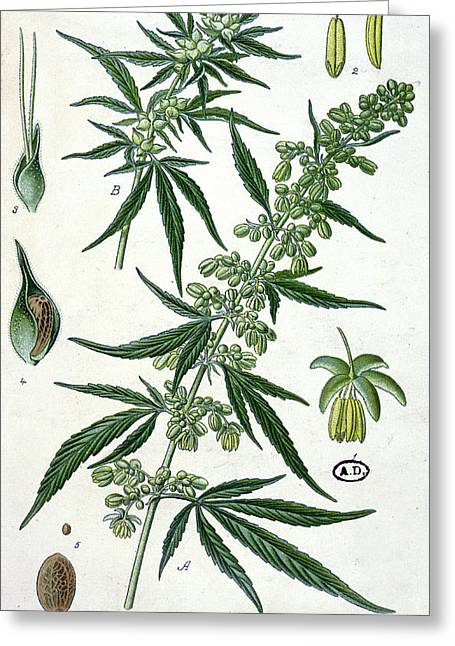 Smoker Greeting Cards - Cannabis Greeting Card by French School