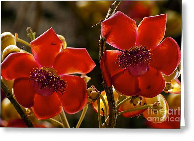 Waimea Falls Greeting Cards - Cannonball Flower Blooms Greeting Card by Bob Phillips