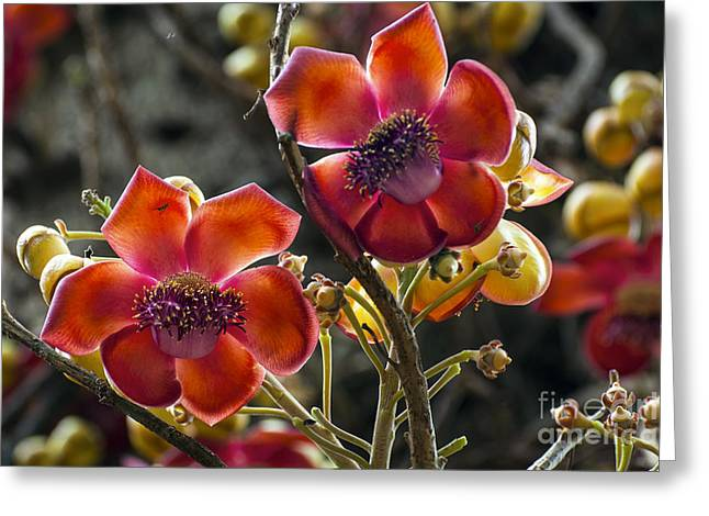 Waimea Falls Greeting Cards - Cannonball Flowers Greeting Card by Bob Phillips