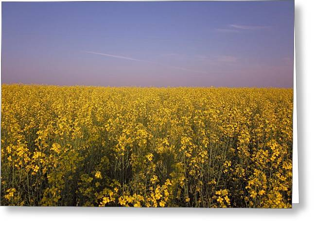 Cherie Sexsmith Greeting Cards - Canola field Greeting Card by Cherie Sexsmith