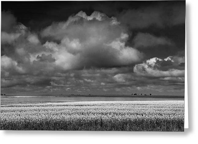 Flower Blossom Greeting Cards - Canola Field in Black and White with Billowing Clouds Greeting Card by Randall Nyhof