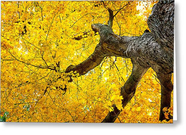 Canopy Of Autumn Leaves Greeting Card by Tom Mc Nemar