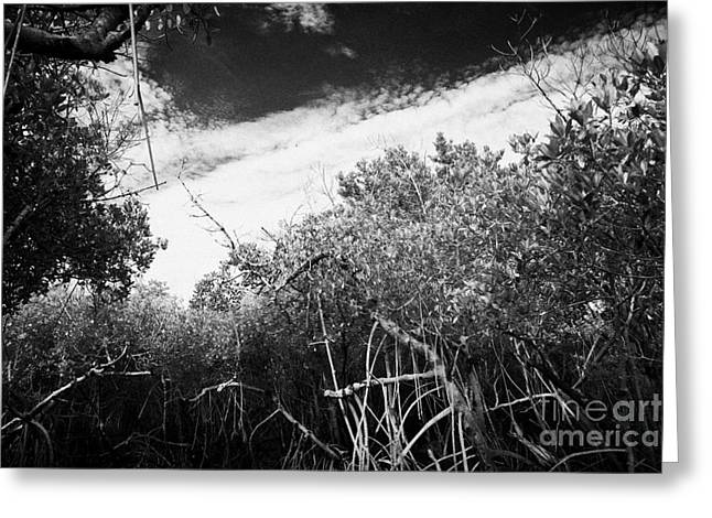 Mangrove Forest Greeting Cards - Canopy Of The Mangrove Forest In The Florida Everglades Usa Greeting Card by Joe Fox