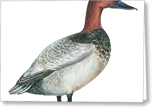 White Background Drawings Greeting Cards - Canvasback duck  Greeting Card by Anonymous
