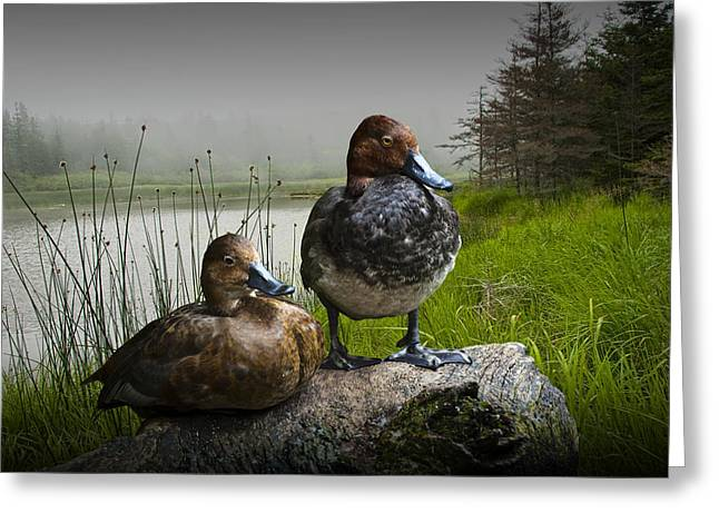 Randy Greeting Cards - Canvasback Duck Pair by a Pond Greeting Card by Randall Nyhof