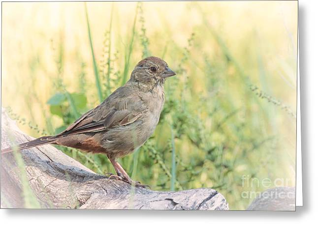 Brown Towhee Greeting Cards - Canyon Towhee Perched On Log Greeting Card by Al Andersen
