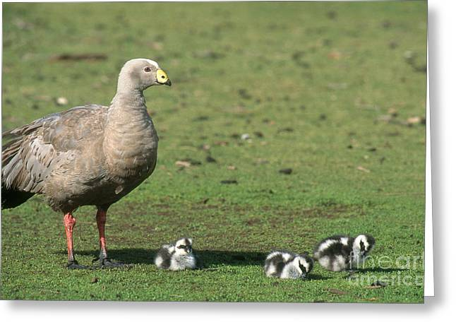 Mother Goose Greeting Cards - Cape Barren Geese Greeting Card by Gregory G. Dimijian, M.D.