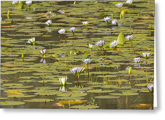 Zimbabwe Greeting Cards - Cape Blue Water-lilies Zimbabwe Greeting Card by Michael Durham