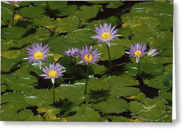 Cape Lily Greeting Cards - Cape Blue Water-lily Group Blooming Greeting Card by Konrad Wothe