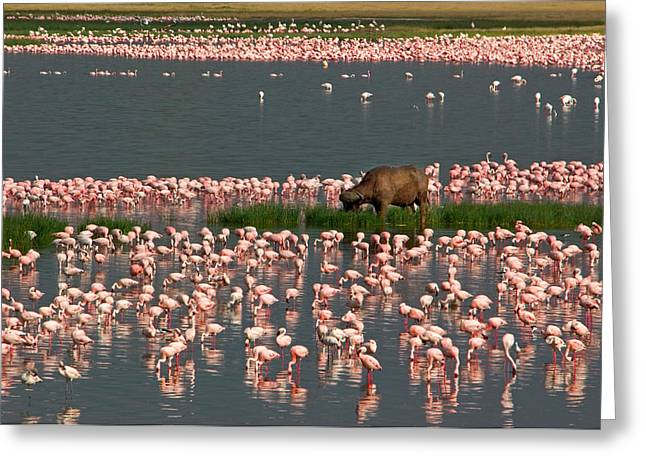 Reflections In River Greeting Cards - Cape Buffalo And Lesser Flamingos Greeting Card by Panoramic Images
