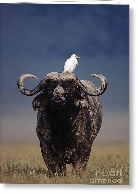 Cattle Egret Greeting Cards - Cape Buffalo With Cattle Egret in Tanzania Greeting Card by Frans Lanting MINT Images