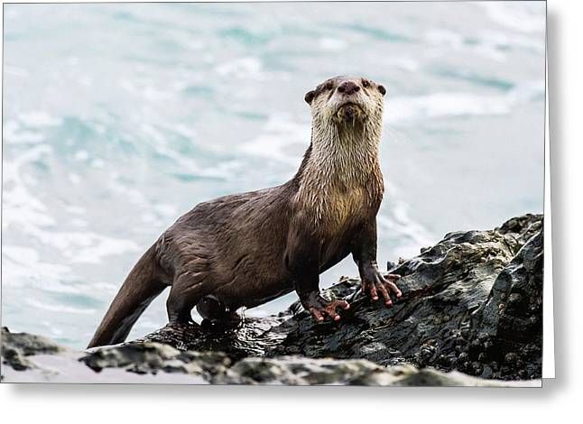 Cape Clawless Otter Greeting Card by Peter Chadwick