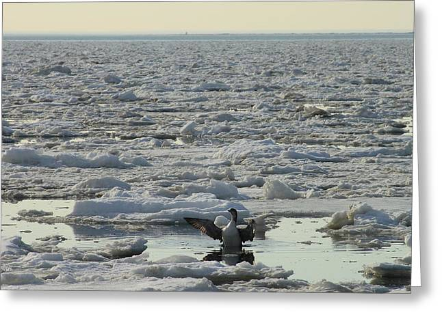 Cape Cod Bay Greeting Cards - Cape Cod Bay Ice and Loon March 2015 Greeting Card by John Burk