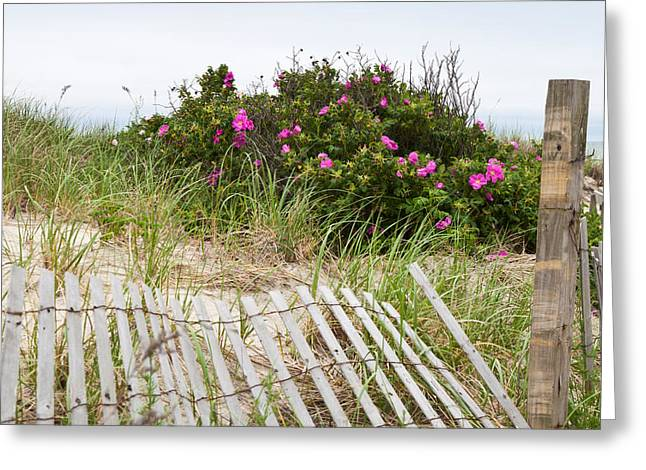 Sand Fences Greeting Cards - Cape Cod Beach Roses Greeting Card by Michelle Wiarda