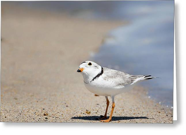 Piping Greeting Cards - Cape Cod Piping Plover Greeting Card by Bill  Wakeley