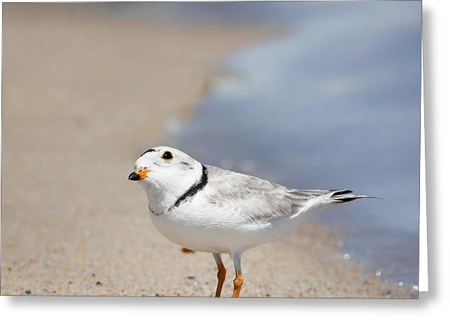 Piping Greeting Cards - Cape Cod Piping Plover Square Greeting Card by Bill  Wakeley