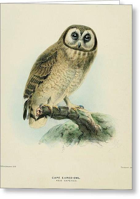 Birds Greeting Cards - Cape Eared Owl Greeting Card by J G Keulemans