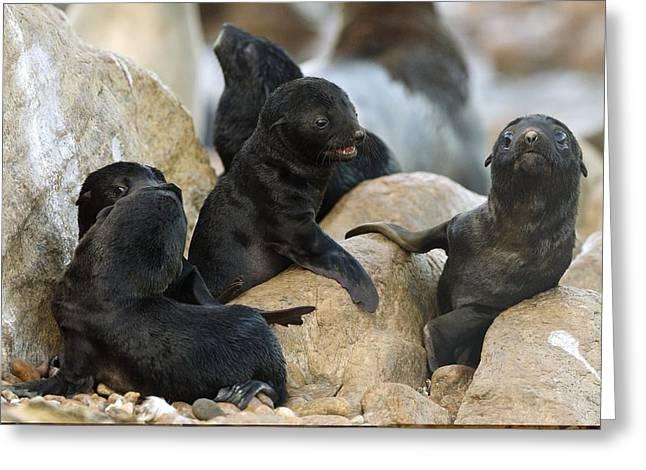 Northern Africa Greeting Cards - Cape fur seal nursery Greeting Card by Science Photo Library