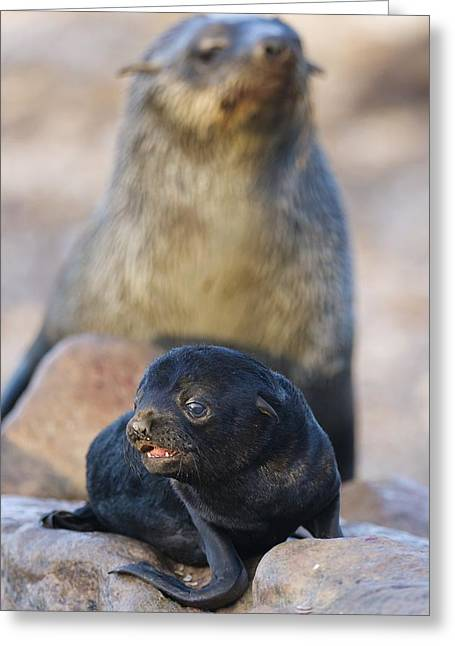 Northern Africa Greeting Cards - Cape fur seal pup and adult Greeting Card by Science Photo Library