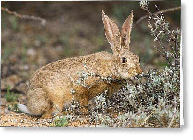 Northern Africa Greeting Cards - Cape hare feeding Greeting Card by Science Photo Library