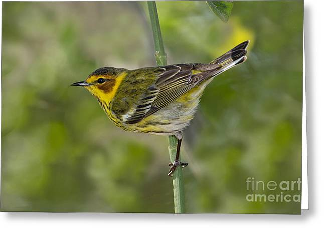 Setophaga Greeting Cards - Cape May Warbler Greeting Card by Anthony Mercieca