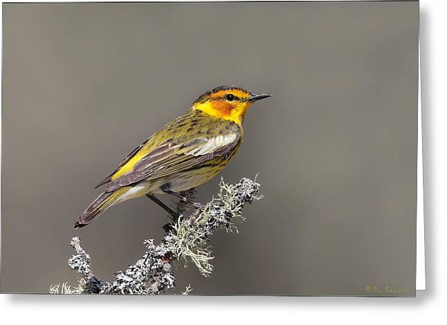 Warbler Digital Art Greeting Cards - Cape May Warbler Greeting Card by Daniel Behm
