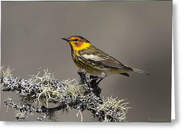 Warbler Digital Art Greeting Cards - Cape May Warbler on Lichens Greeting Card by Daniel Behm