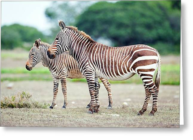 Cape Mountain Zebra And Foal Greeting Card by Peter Chadwick