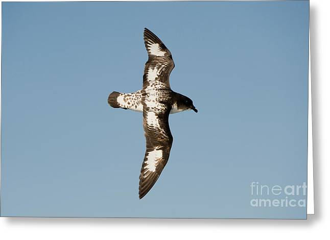 Flying Animal Greeting Cards - Cape Petrel Greeting Card by John Shaw