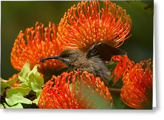 Cape Sugarbird Catching Bee Greeting Card by Bruce J Robinson