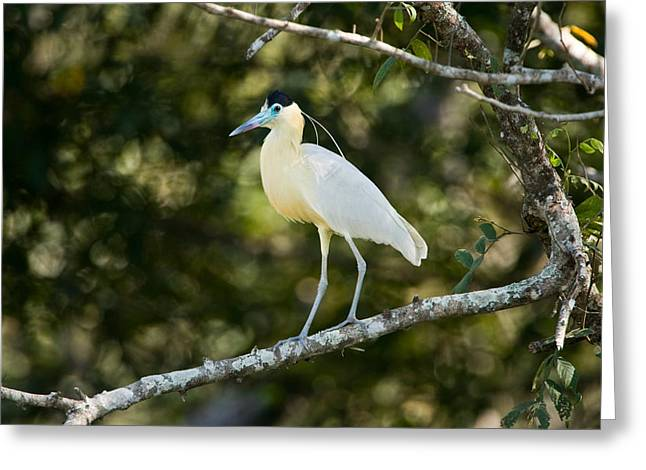 Zoology Greeting Cards - Capped Heron Pilherodius Pileatus Greeting Card by Panoramic Images