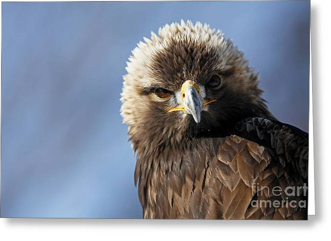 Shelley Myke Greeting Cards - Captivating Golden Eagle Watching You Greeting Card by Inspired Nature Photography By Shelley Myke