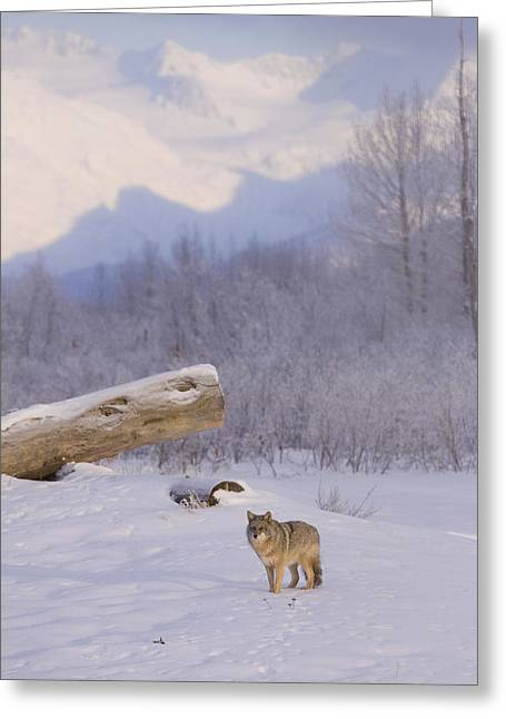 Snowy Evening Greeting Cards - Captive A Coyote Walks Across A Frozen Greeting Card by Doug Lindstrand