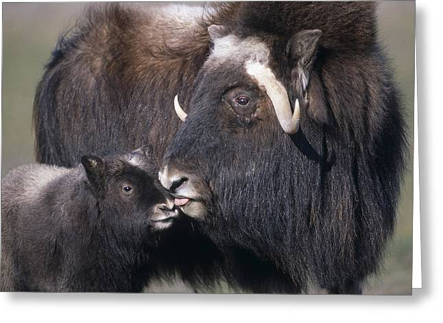 Recently Sold -  - Caring Mother Greeting Cards - Captive Adult Female Musk Ox With Calf Greeting Card by Doug Lindstrand