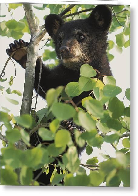Black Bear Climbing Tree Greeting Cards - Captive Black Bear Cub Climbing Birch Greeting Card by Michael DeYoung