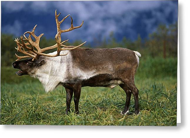 Captive Caribou At Alaska Wildlife Greeting Card by Doug Lindstrand