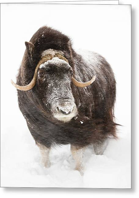 Snowstorm Greeting Cards - Captive Cow Muskoxen Stands In Deep Greeting Card by Doug Lindstrand